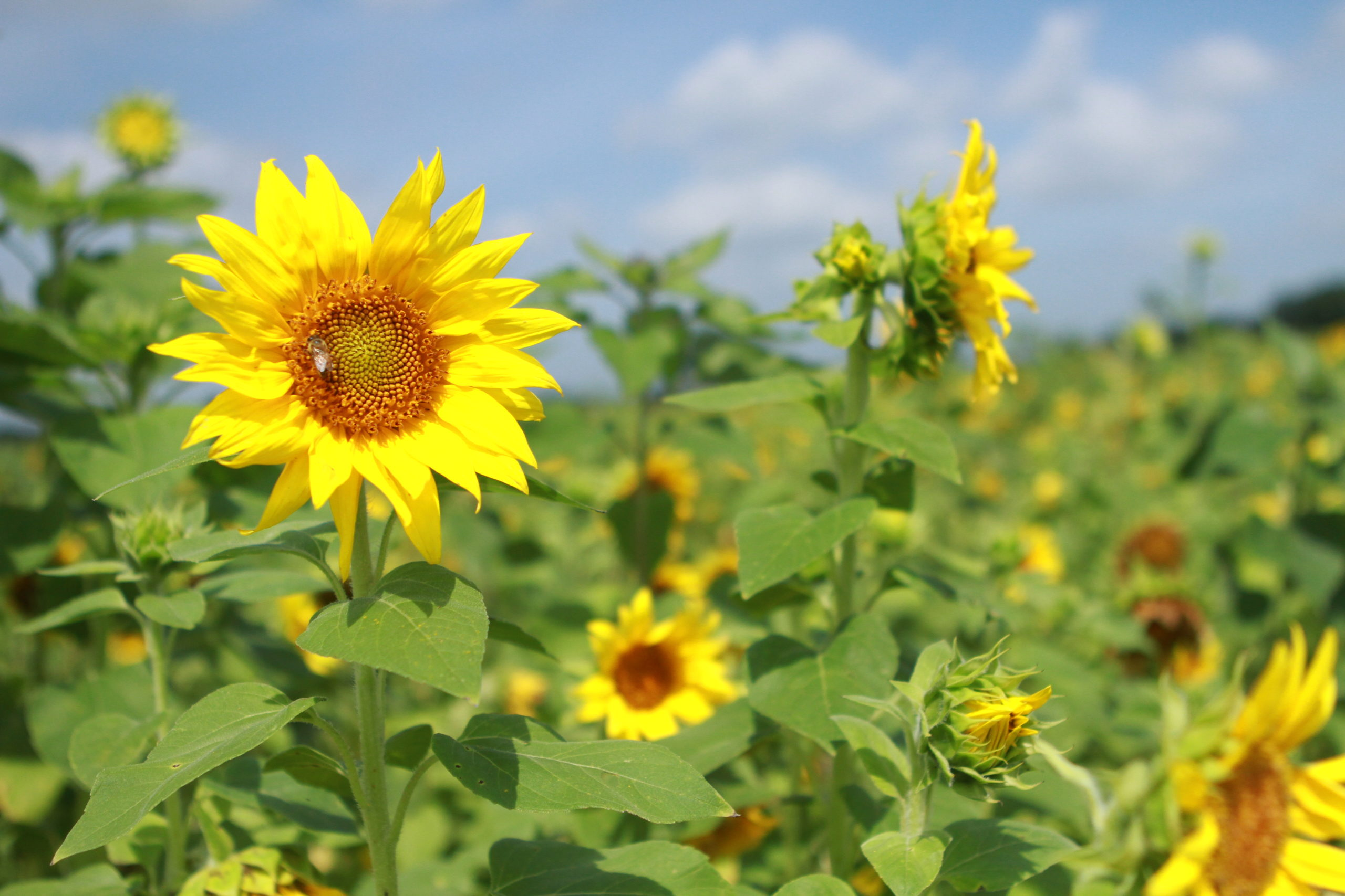 Ever Wanted a Sunflower Garden?