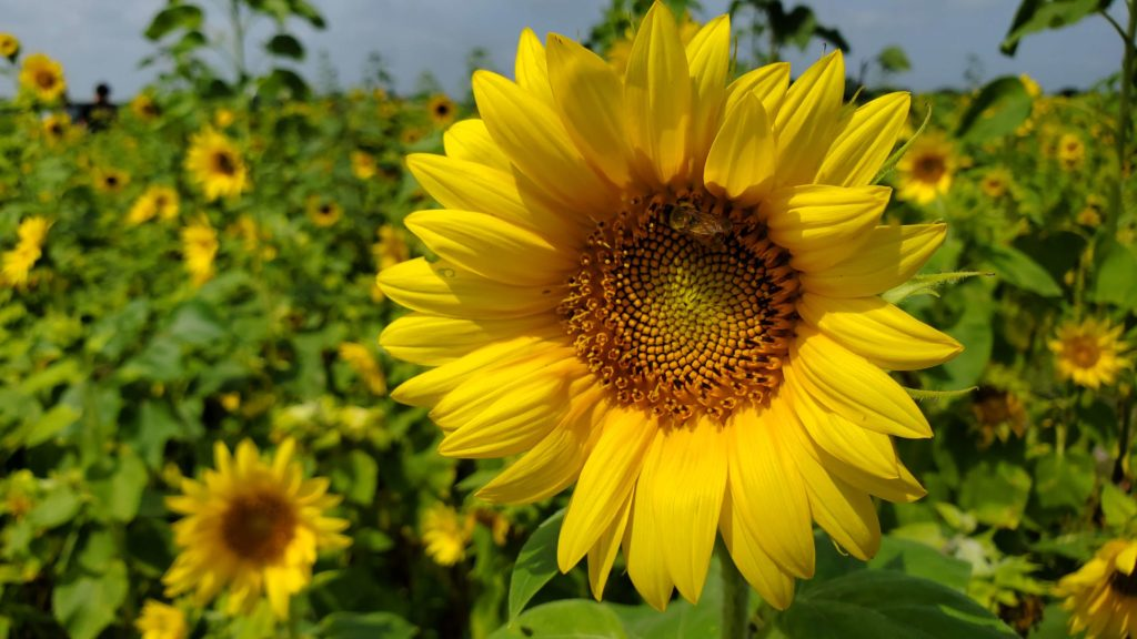 Ever Wanted a Sunflower Garden 2