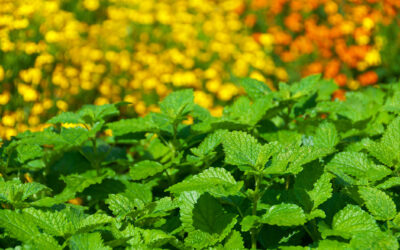 Plants That Deter Pesky Bugs and Mosquitos